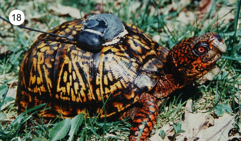 Box Turtle Telemetry